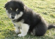 Alaskan Malamute Puppies for sale.