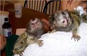 S32 Adorable Twin Pygmy Marmoset and Capuchin 07031957695