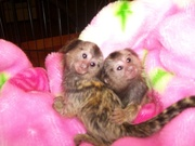 BVHD Adorable Twin Pygmy Marmoset and Capuchin 07031957695