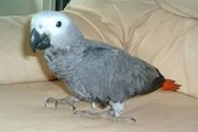 12YU Pair hand fed African Grey parrots