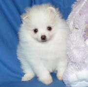 adorable pomarenian puppies for sale